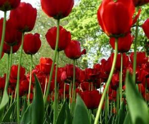 Red tulips puzzle