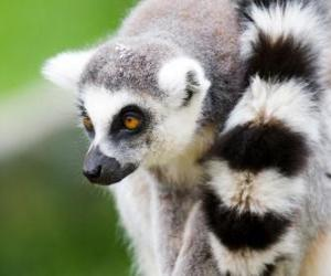 Ring-tailed lemur puzzle