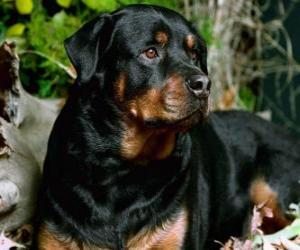 Rottweiler guard dog puzzle