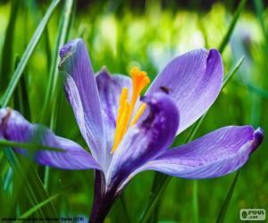Saffron flower puzzle