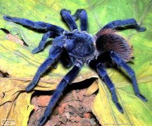 Sazima's tarantula puzzle