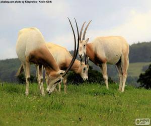 Scimitar oryx puzzle
