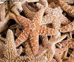 Sea stars puzzle