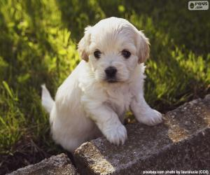 Shih-poo puppy puzzle
