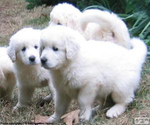 Slovak Cuvac puppies puzzle