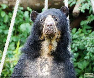 Spectacled bear puzzle