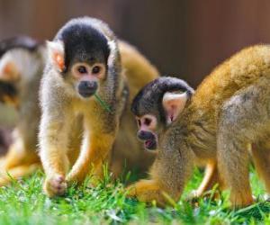 Squirrel monkeys puzzle