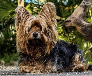 Terrier dog with long hair puzzle