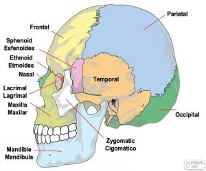 The bones of the human skull puzzle