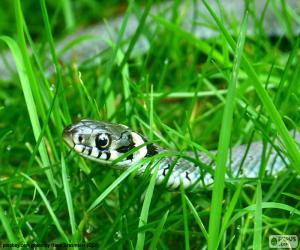 The grass snake puzzle