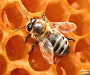 The honey bee. The bees that produce honey puzzle