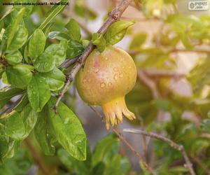The pomegranate in the tree puzzle