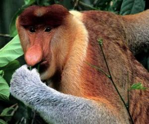 The Proboscis Monkey (Nasalis larvatus) is also known as the Monyet Belanda in Malay, the Bekantan in Indonesian or simply the Long-nosed Monkey.  puzzle