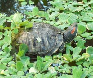 The red-eared slider puzzle