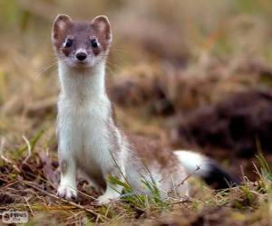 The stoat, ermine or short-tailed weasel, is a species of carnivorous mammal puzzle