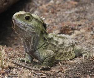 The tuatara is a reptile endemic to New Zealand puzzle
