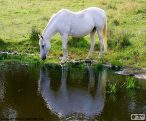The white horse drinking puzzle