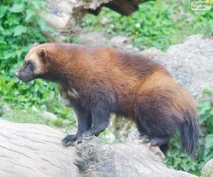 The wolverine, also referred to as glutton, carcajou, skunk bear, or quickhatch puzzle