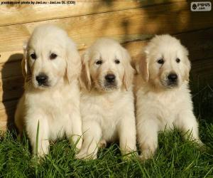 Three golden retriever puppies puzzle