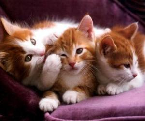 Three white and brown kittens puzzle