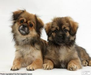 Tibetan Spaniel puppies puzzle