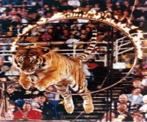 Tiger leaping inside a circle of fire puzzle