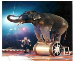 Trained elephant acting in a circus walking on a cylinder puzzle