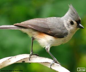 Tufted titmouse puzzle