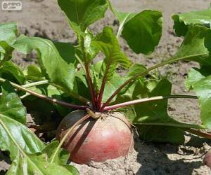 Turnip puzzle
