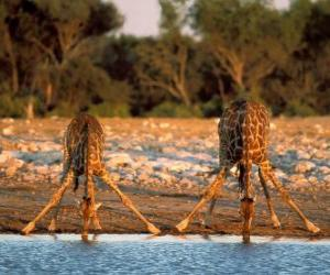 Two giraffes, drinking at a pond in the savannah puzzle