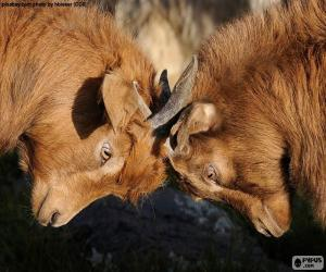 Two goats fighting puzzle