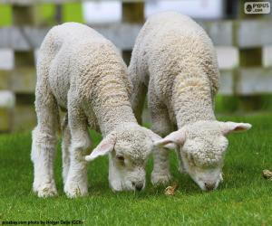 Two tender sheep puzzle