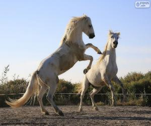 Two white horses puzzle