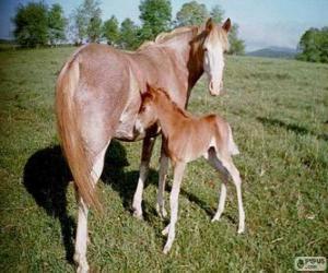 Virginia Highlander horse originating in United States puzzle