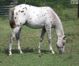 Walkaloosa horse originating in United States puzzle