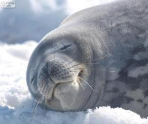 Weddell seal puzzle