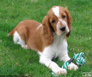 Welsh Springer Spaniel puppy puzzle