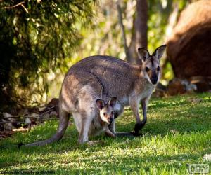 Western grey kangaroo puzzle