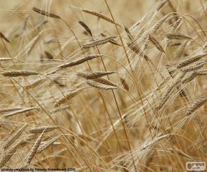 Wheat puzzle