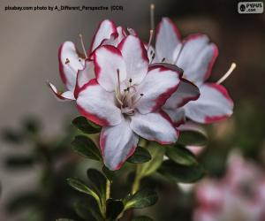 White and red azalea flowers puzzle