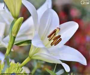 White Asian Lily puzzle