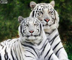White Bengal Tigers puzzle
