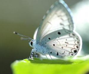White Butterfly puzzle
