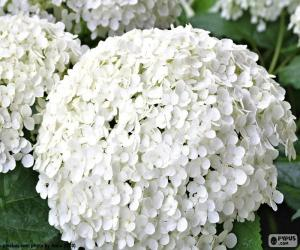 White hydrangea flowers puzzle