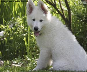White Swiss Shepherd Dog Puppy puzzle