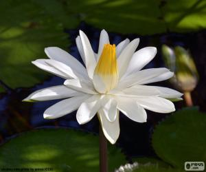White water lily puzzle