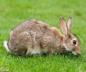 Wild rabbit puzzle