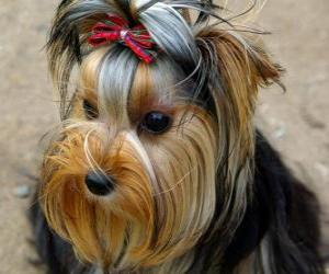 Yorkshire Terrier is a small dog breed of terrier type, developed in the 19th century in the historical area of Yorkshire, England puzzle