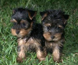 Yorkshire Terrier puppies puzzle