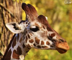 Young giraffe puzzle